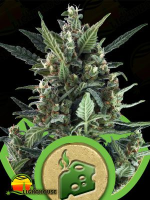 Blue Cheese Auto (Royal Queen Seeds)