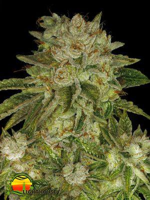 MK Ultra (T.H.Seeds)