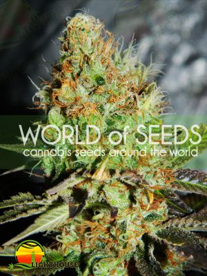 Afghan Kush Special (World of Seeds)