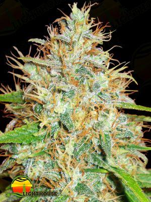 Afghan Kush x Skunk (World of Seeds)
