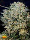 Sugar GOM (Grass-O-Matic Seeds)