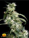 Arjan's Ultra Haze #2 (Greenhouse Seed Co.)