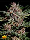 Bubba Kush (Greenhouse Seed Co.)