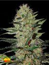 Exodus Cheese AUTO (Greenhouse Seed Co.)