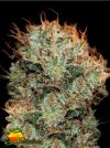 Kaia Kush (Greenhouse Seed Co.)