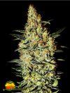 Neville's Haze (Greenhouse Seed Co.)