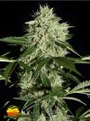 Northern Light AUTO (Greenhouse Seed Co.)