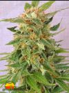 Ginger Punch Auto (Kannabia Seeds)