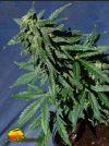 Kannabia Special Auto (Kannabia Seeds)