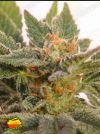 Kritic Auto (Kannabia Seeds)