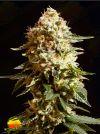 La Blanca (Kannabia Seeds)
