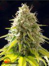 Mataro Blue (Kannabia Seeds)