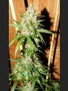 Lemon Zinger Regular Seeds
