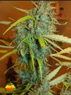 Angel Heart (Mr Nice Seedbank)
