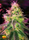 Black Jack (Nirvana Seeds)