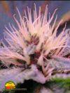 Blue Mystic (Nirvana Seeds)