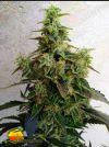 Dieseltonic (Resin Seeds)
