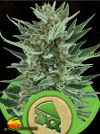 Royal Cheese Auto (Royal Queen Seeds)