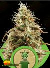 Royal Jack Auto (Royal Queen Seeds)