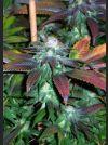 Royal Kush 7 Regular Seeds