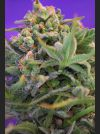 Sweet Cheese Auto Feminised Seeds