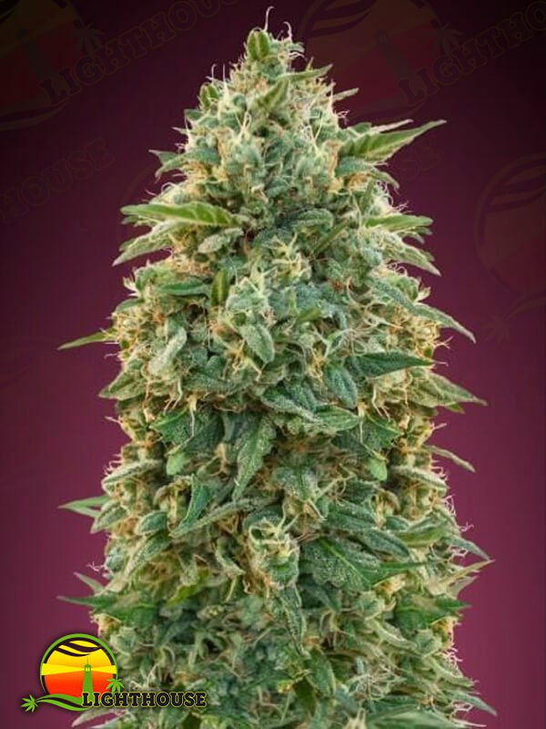 Collection #5 Feminised (Advanced Seeds)