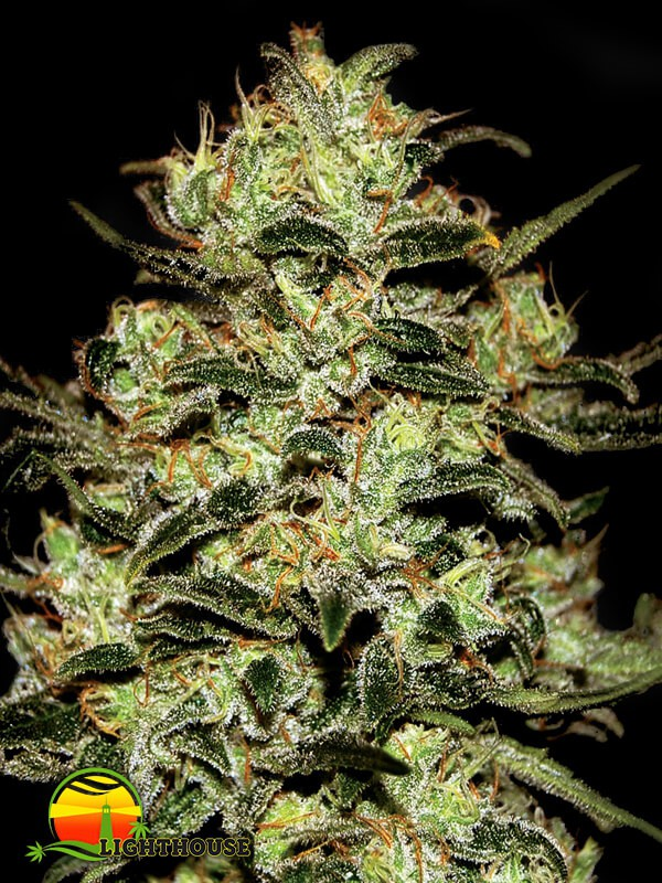 Moby Dick (Greenhouse Seed Co.)