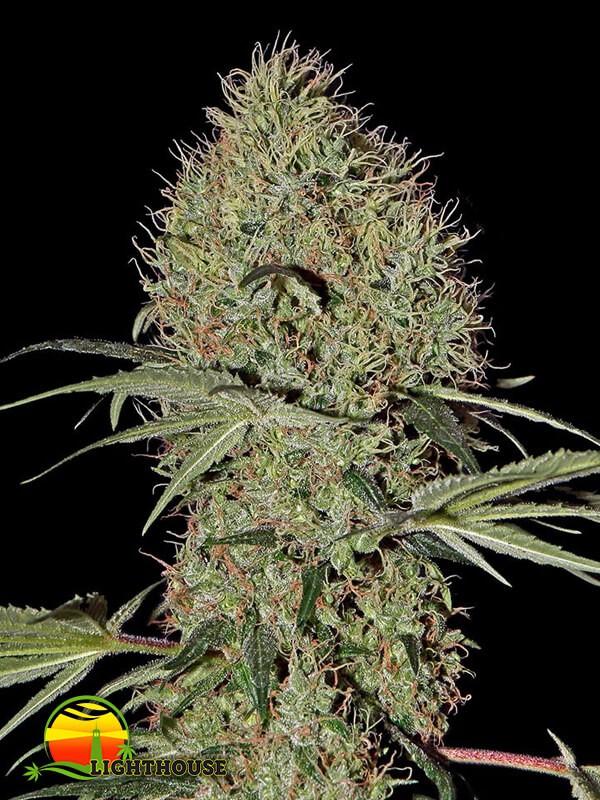 Super Bud AUTO (Greenhouse Seed Co.)