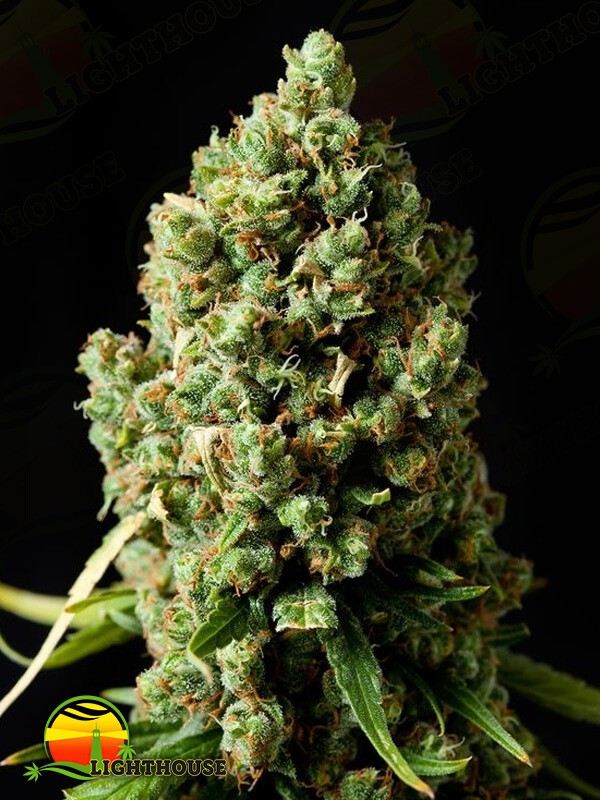 Original Skunk (Phoenix Seeds)