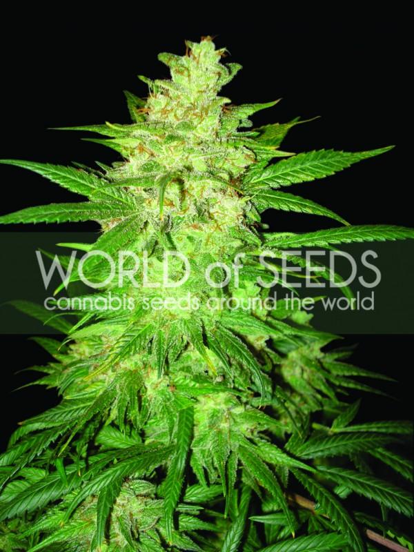 Sweet Coffee Ryder Autoflowering Feminised Seeds
