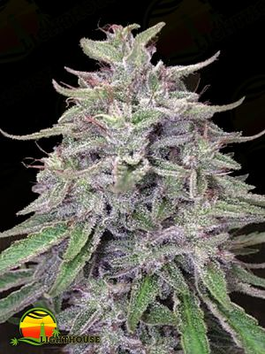Bangi Haze (Ace Seeds)