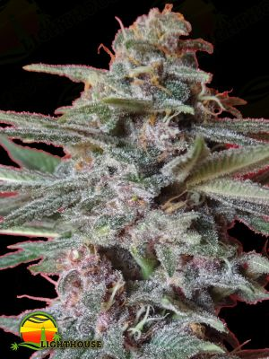 Snow Moon Regular (Ace Seeds)