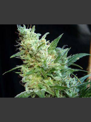 BCN Diesel Feminised Seeds