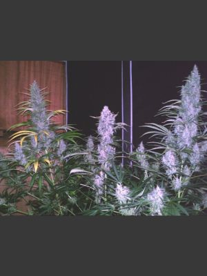 Brains Choice Feminised Seeds