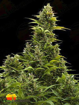 Medikit CBD Auto (Buddha Seeds)