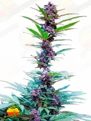 Deluxe Feminised Mix (Cannabiogen Seeds)