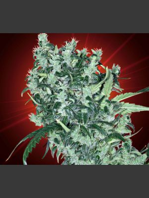 Cheese Tease Regular Seeds