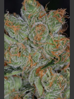 Cheese Quake Regular Seeds