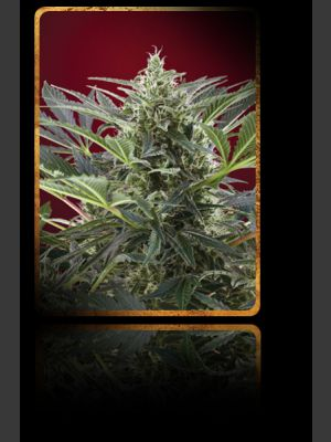 Cream 47 Feminised Seeds