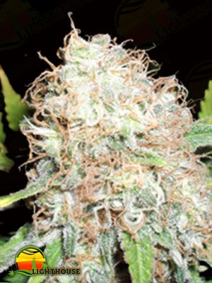 Bulk Smash Auto (Dr Krippling Seeds)