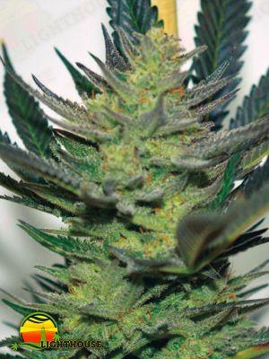 Afghan Skunk (Expert Seeds)