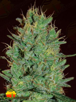 Amnesia Haze (Expert Seeds)