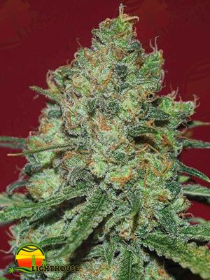 Clinical White CBD (Expert Seeds)