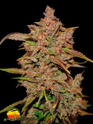 Crystal Meth Auto (FastBuds Seeds)