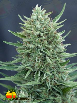 MED GOM 1.0 Auto (Grass-O-Matic Seeds)