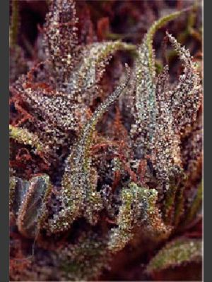 Her Majesty Feminised Seeds