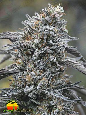 Black D.O.G. (Humboldt Seed Organization)