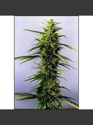 KC 36 Feminised Seeds