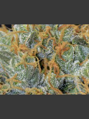 Lavender Feminisierte Samen