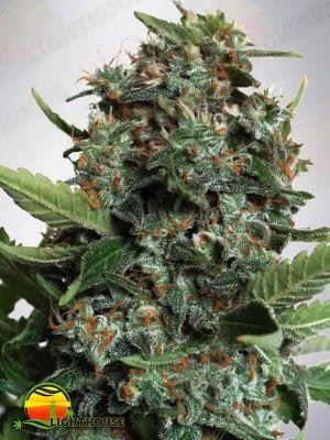 Autopilot XXL Auto (Ministry of Cannabis)
